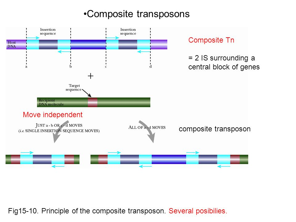 Fig15-10. Principle of the composite transposon. Several posibilies.