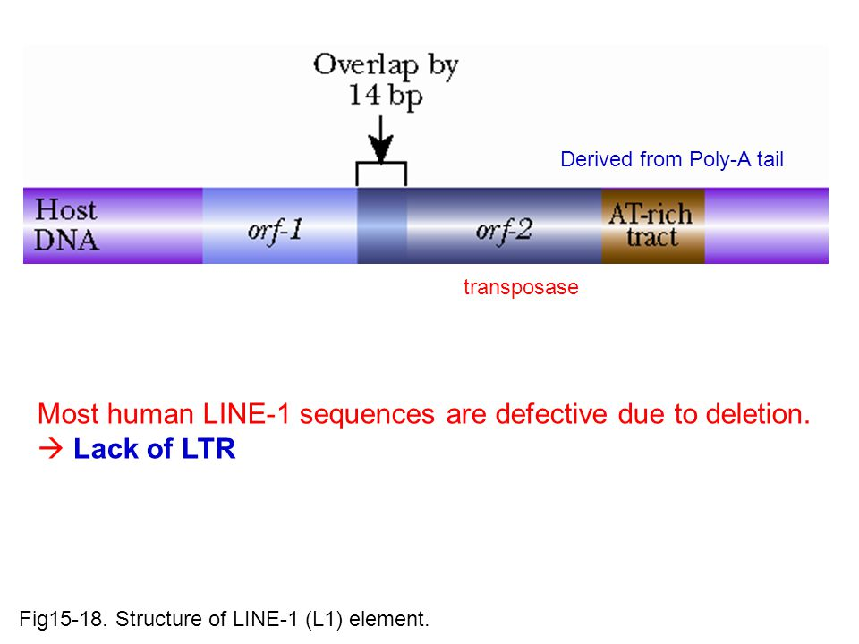Fig15-18.Structure of LINE-1 (L1) element.