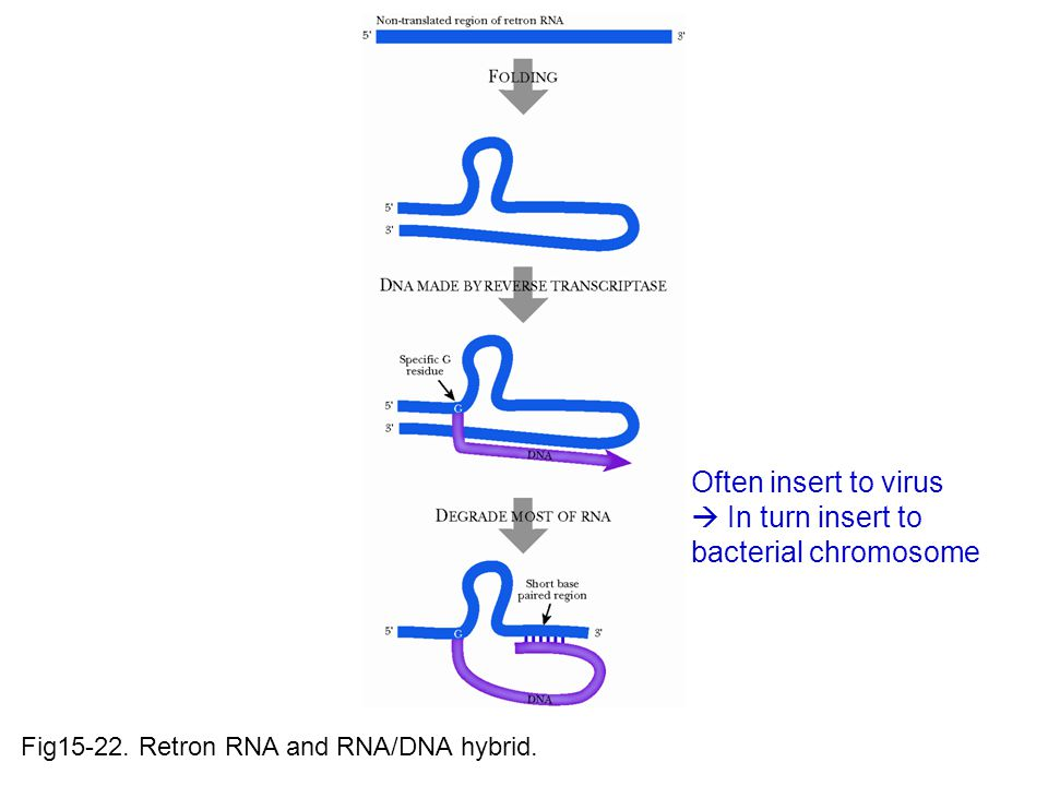 Fig15-22. Retron RNA and RNA/DNA hybrid.