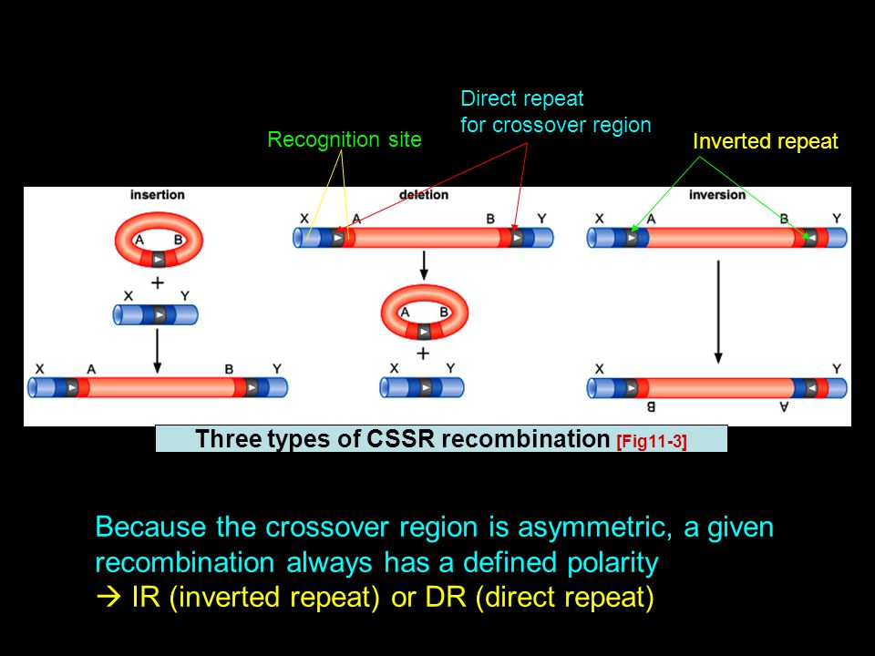 Three types of CSSR recombination [Fig11-3] Recognition site Direct repeat for crossover region Inverted repeat Because the crossover region is asymmetric, a given recombination always has a defined polarity  IR (inverted repeat) or DR (direct repeat)