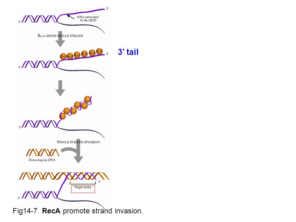 Fig14-7. RecA promote strand invasion. 3' tail