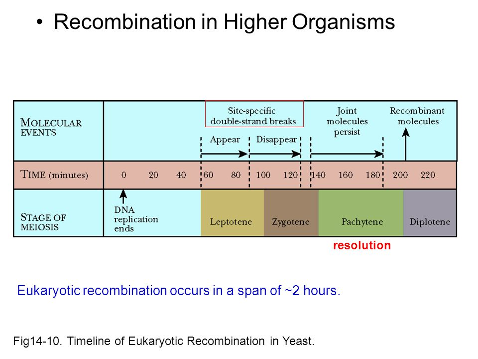 Fig14-10.Timeline of Eukaryotic Recombination in Yeast.