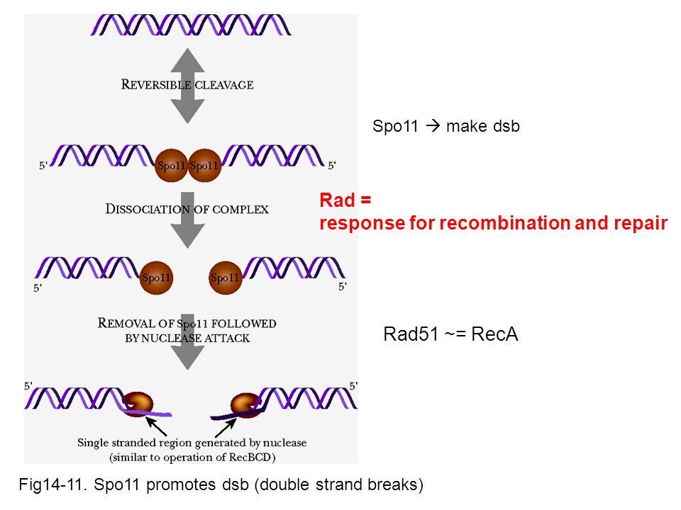 Spo11  make dsb Rad51 ~= RecA Rad = response for recombination and repair Fig14-11.
