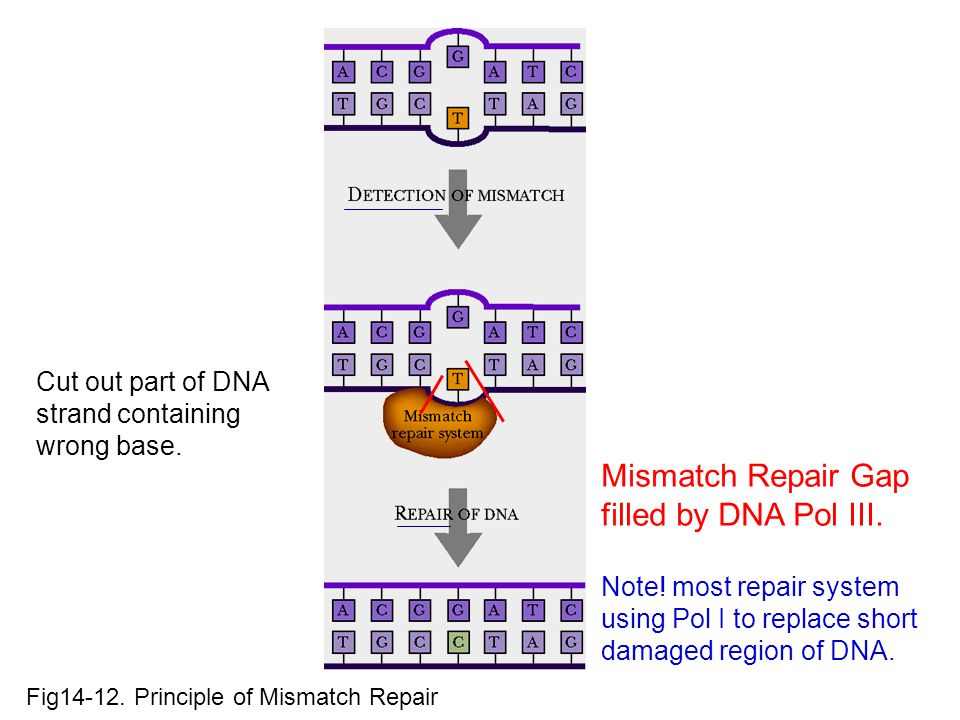 Fig14-12. Principle of Mismatch Repair Mismatch Repair Gap filled by DNA Pol III. Note! most repair system using Pol I to replace short damaged region