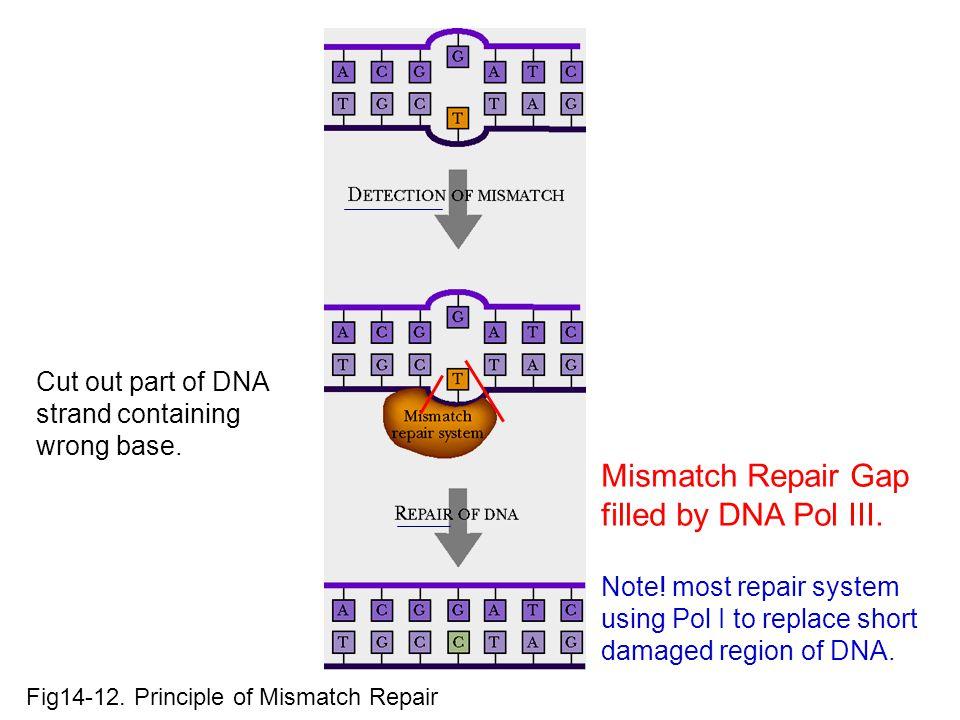 Fig14-12.Principle of Mismatch Repair Mismatch Repair Gap filled by DNA Pol III.