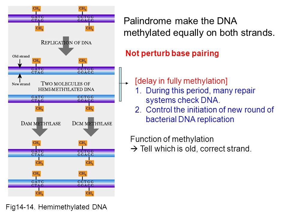 Fig14-14.Hemimethylated DNA Palindrome make the DNA methylated equally on both strands.