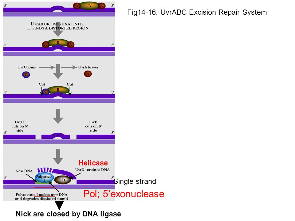 Fig14-16. UvrABC Excision Repair System Helicase Single strand Pol; 5'exonuclease Nick are closed by DNA ligase