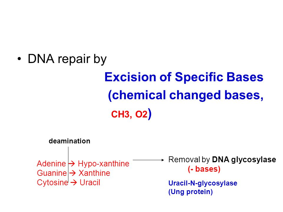DNA repair by Excision of Specific Bases (chemical changed bases, CH3, O2 ) Adenine  Hypo-xanthine Guanine  Xanthine Cytosine  Uracil deamination Removal by DNA glycosylase (- bases) Uracil-N-glycosylase (Ung protein)
