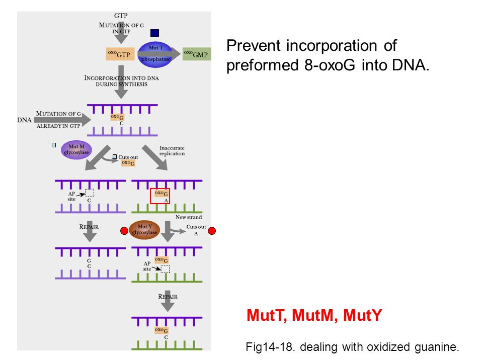 Fig14-18. dealing with oxidized guanine. Prevent incorporation of preformed 8-oxoG into DNA. MutT, MutM, MutY