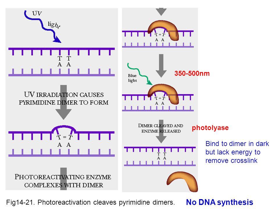 Fig14-21.Photoreactivation cleaves pyrimidine dimers.