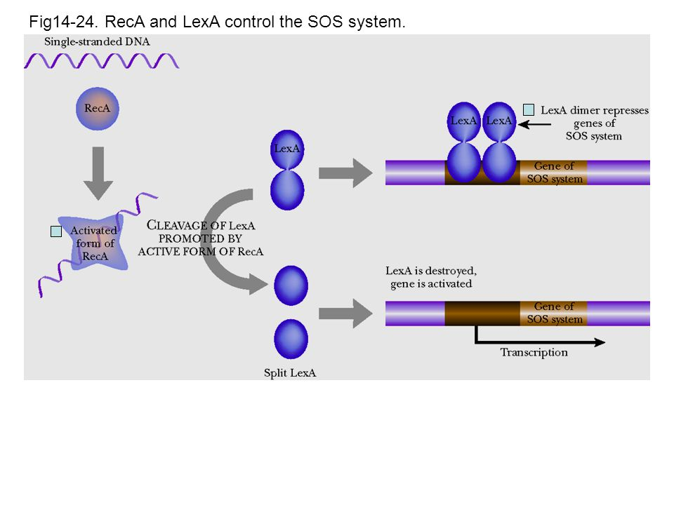 Fig14-24. RecA and LexA control the SOS system.