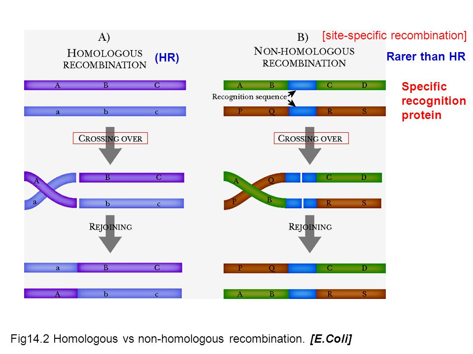 Fig14.2 Homologous vs non-homologous recombination. [E.Coli] [site-specific recombination] Specific recognition protein Rarer than HR (HR)