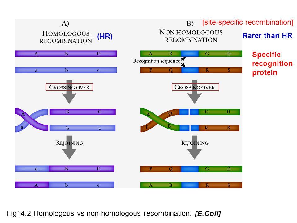 Fig14.2 Homologous vs non-homologous recombination.
