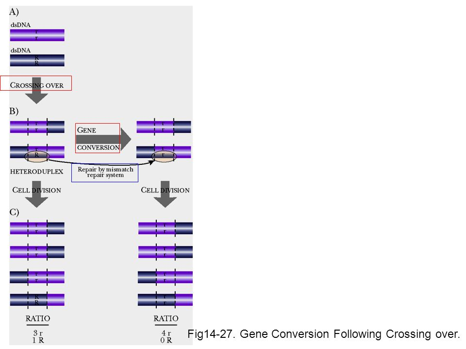 Fig14-27. Gene Conversion Following Crossing over.