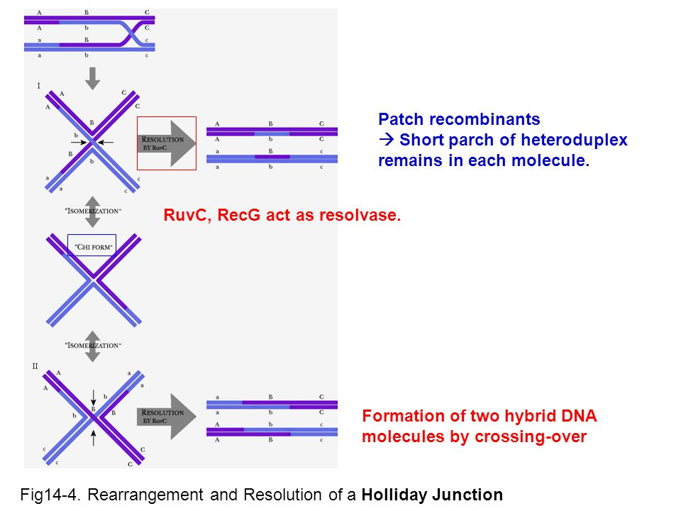 Fig14-4. Rearrangement and Resolution of a Holliday Junction RuvC, RecG act as resolvase. Patch recombinants  Short parch of heteroduplex remains in