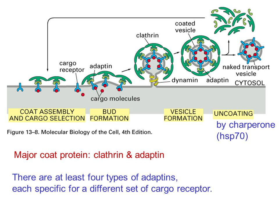 Major coat protein: clathrin & adaptin There are at least four types of adaptins, each specific for a different set of cargo receptor.