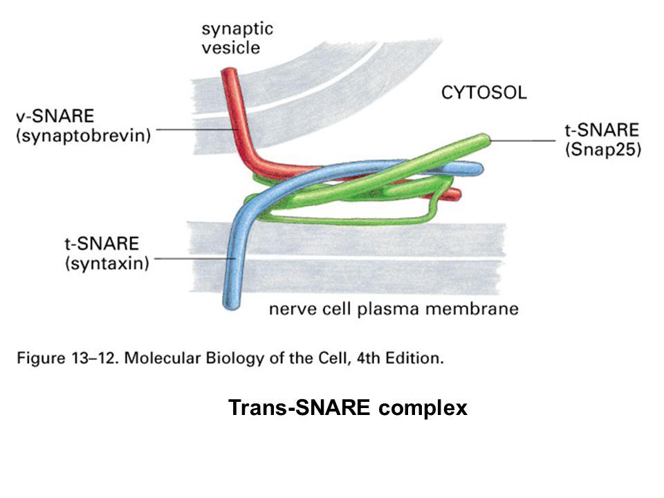 Trans-SNARE complex