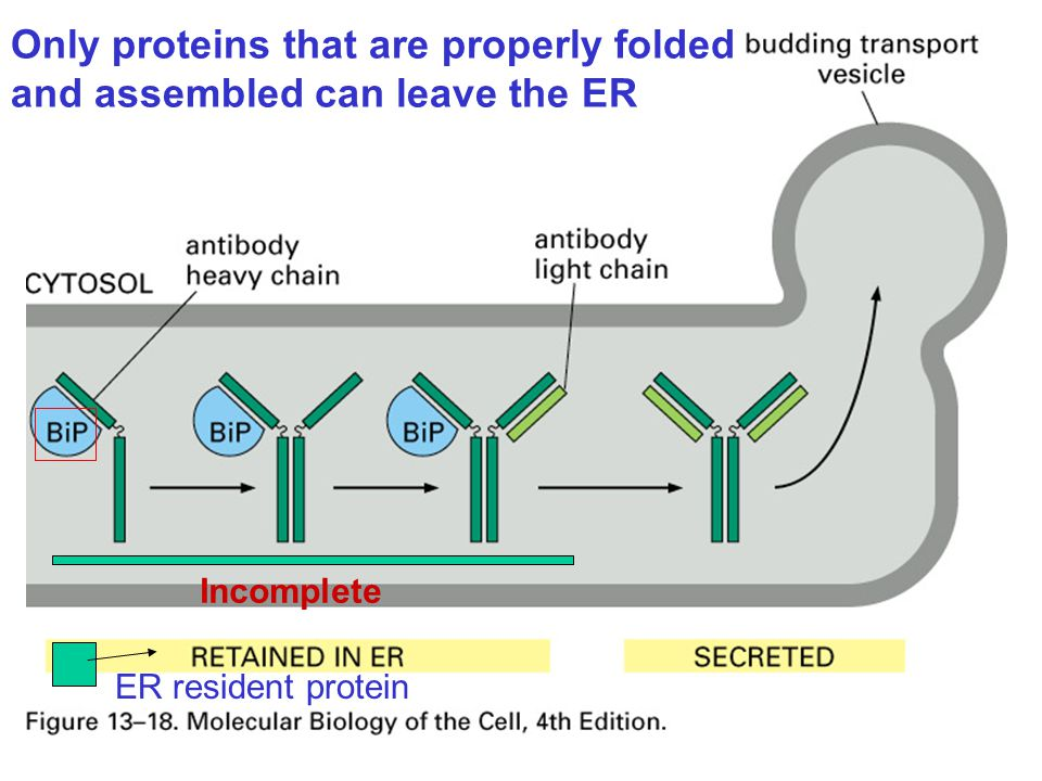 Only proteins that are properly folded and assembled can leave the ER ER resident protein Incomplete