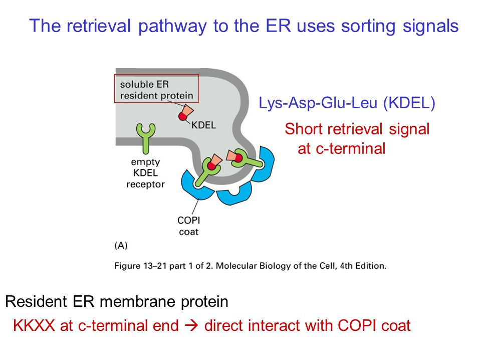 The retrieval pathway to the ER uses sorting signals Lys-Asp-Glu-Leu (KDEL) KKXX at c-terminal end  direct interact with COPI coat Short retrieval signal at c-terminal Resident ER membrane protein