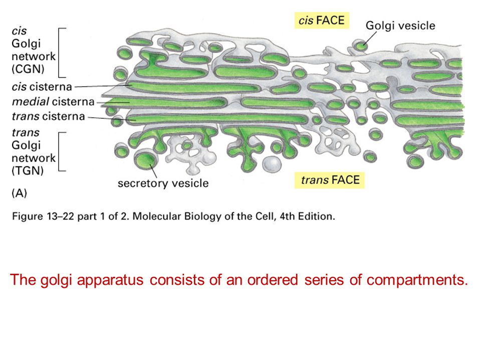 The golgi apparatus consists of an ordered series of compartments.