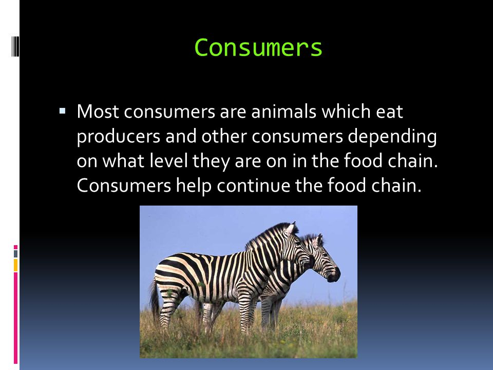 Consumers  Most consumers are animals which eat producers and other consumers depending on what level they are on in the food chain.