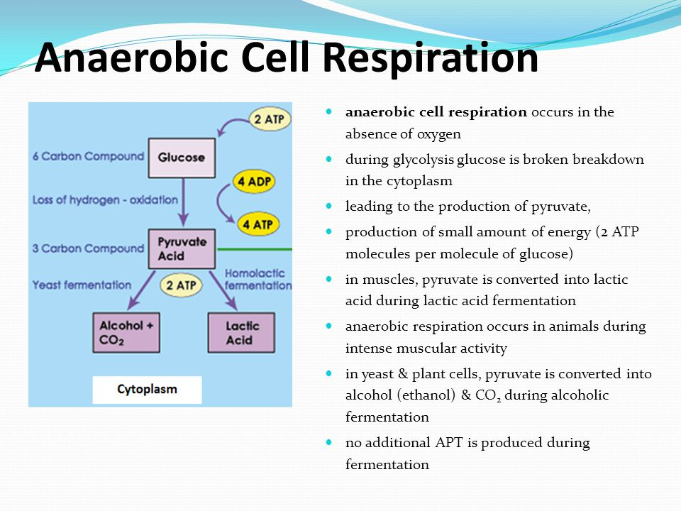 Anaerobic Cell Respiration anaerobic cell respiration occurs in the absence of oxygen during glycolysis glucose is broken breakdown in the cytoplasm leading to the production of pyruvate, production of small amount of energy (2 ATP molecules per molecule of glucose) in muscles, pyruvate is converted into lactic acid during lactic acid fermentation anaerobic respiration occurs in animals during intense muscular activity in yeast & plant cells, pyruvate is converted into alcohol (ethanol) & CO 2 during alcoholic fermentation no additional APT is produced during fermentation