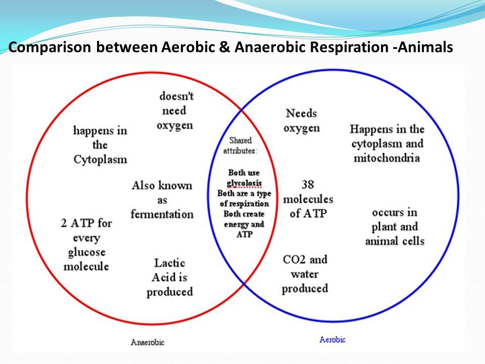 Comparison between Aerobic & Anaerobic Respiration -Animals