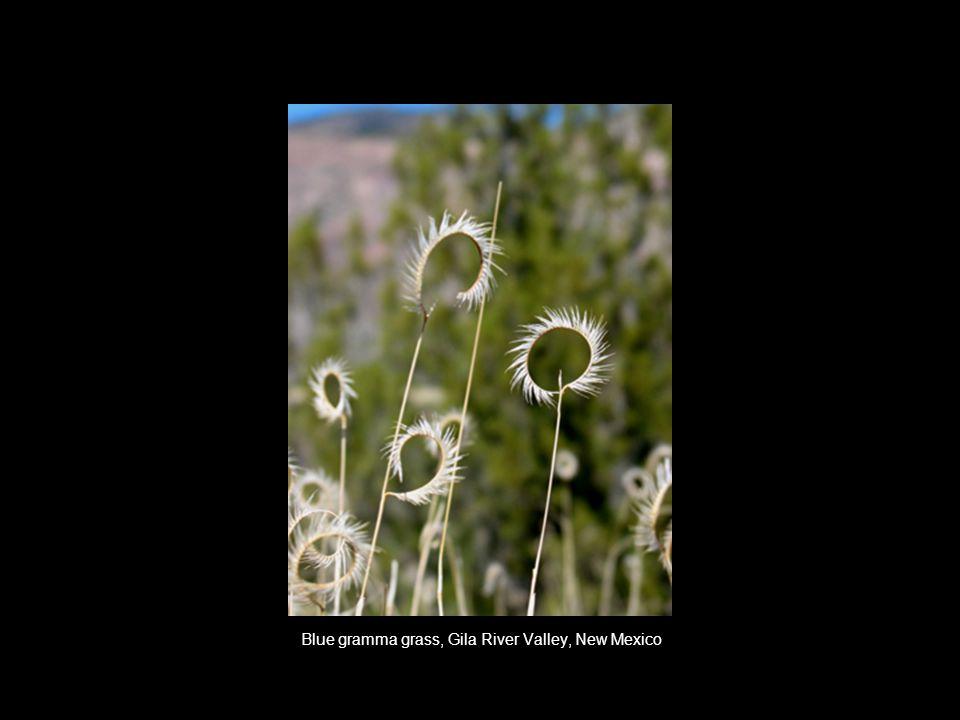 Blue gramma grass, Gila River Valley, New Mexico