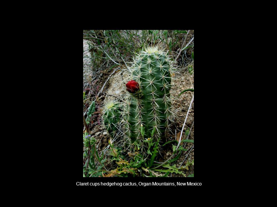 Claret cups hedgehog cactus, Organ Mountains, New Mexico