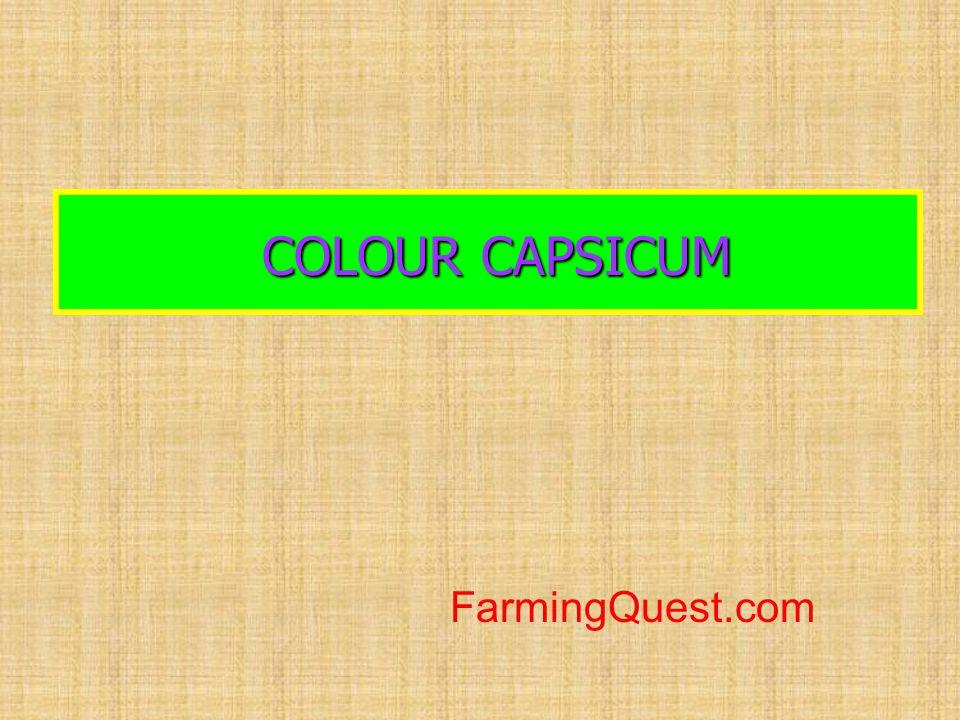 COLOUR CAPSICUM COLOUR CAPSICUM FarmingQuest.com