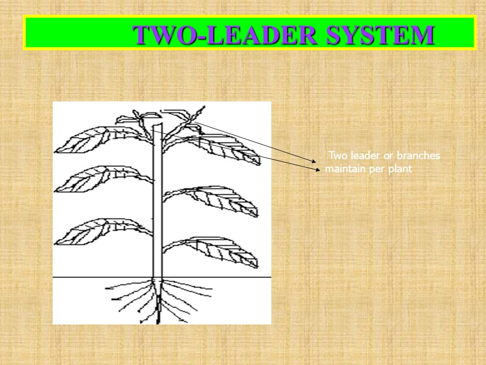 TWO-LEADER SYSTEM TWO-LEADER SYSTEM Two leader or branches maintain per plant