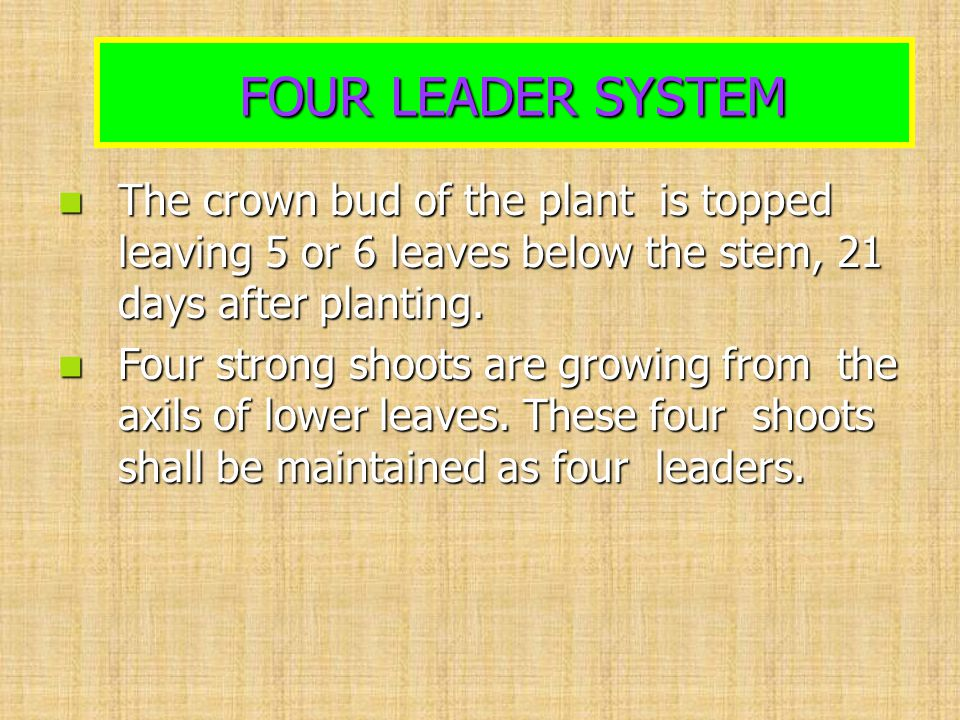FOUR LEADER SYSTEM FOUR LEADER SYSTEM The crown bud of the plant is topped leaving 5 or 6 leaves below the stem, 21 days after planting. The crown bud