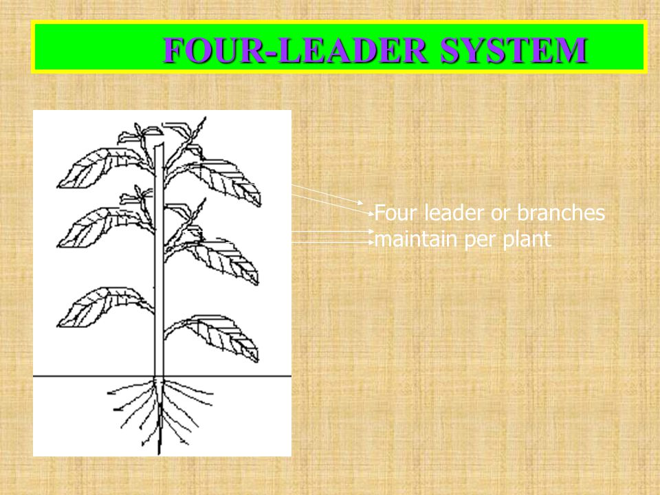 FOUR-LEADER SYSTEM FOUR-LEADER SYSTEM Four leader or branches maintain per plant
