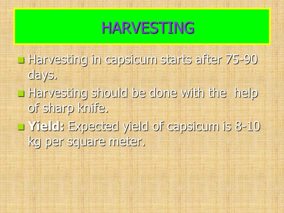 HARVESTING HARVESTING Harvesting in capsicum starts after 75-90 days. Harvesting in capsicum starts after 75-90 days. Harvesting should be done with t