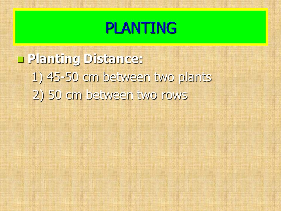 PLANTING Planting Distance: Planting Distance: 1) 45-50 cm between two plants 1) 45-50 cm between two plants 2) 50 cm between two rows 2) 50 cm betwee