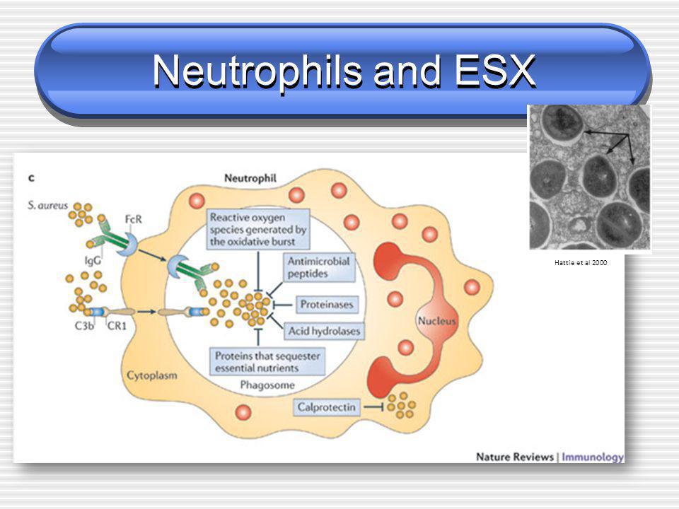 Neutrophils and ESX Hattie et al 2000