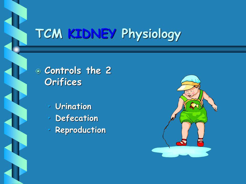 TCM KIDNEY Physiology b Controls the 2 Orifices UrinationUrination DefecationDefecation ReproductionReproduction