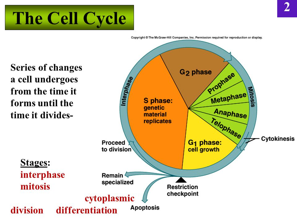 2 The Cell Cycle 3-25 Series of changes a cell undergoes from the time it forms until the time it divides- Stages: interphase mitosis cytoplasmic division differentiation