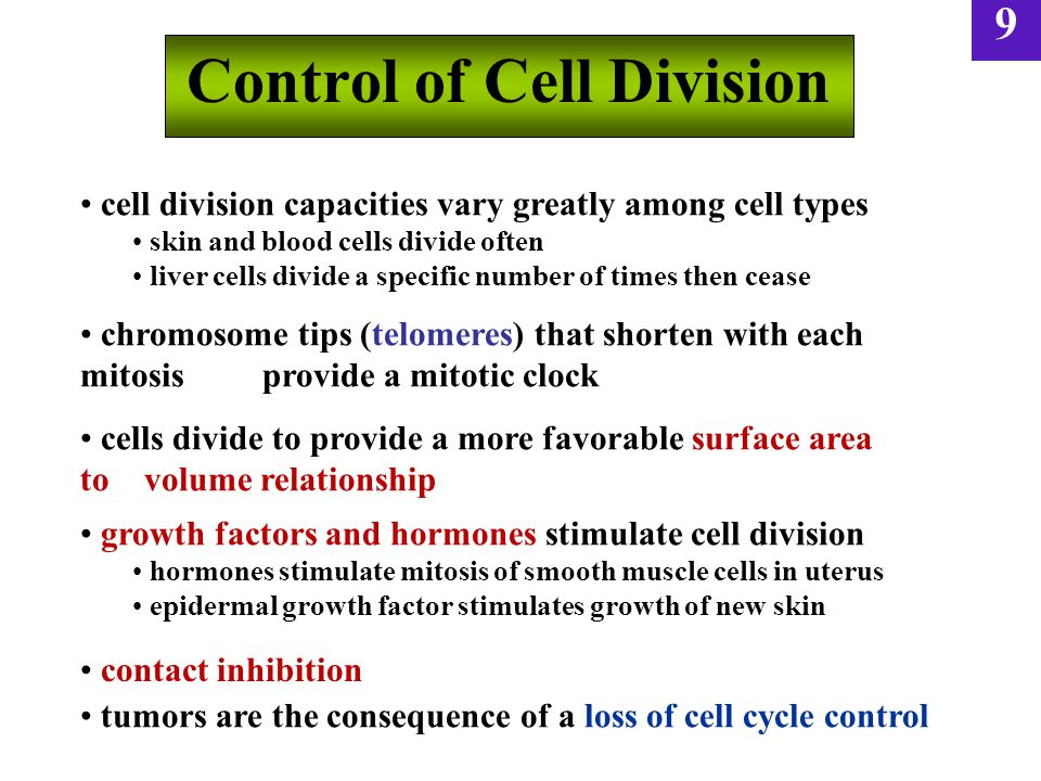 9 Control of Cell Division cell division capacities vary greatly among cell types skin and blood cells divide often liver cells divide a specific number of times then cease chromosome tips (telomeres) that shorten with each mitosis provide a mitotic clock cells divide to provide a more favorable surface area to volume relationship growth factors and hormones stimulate cell division hormones stimulate mitosis of smooth muscle cells in uterus epidermal growth factor stimulates growth of new skin tumors are the consequence of a loss of cell cycle control contact inhibition