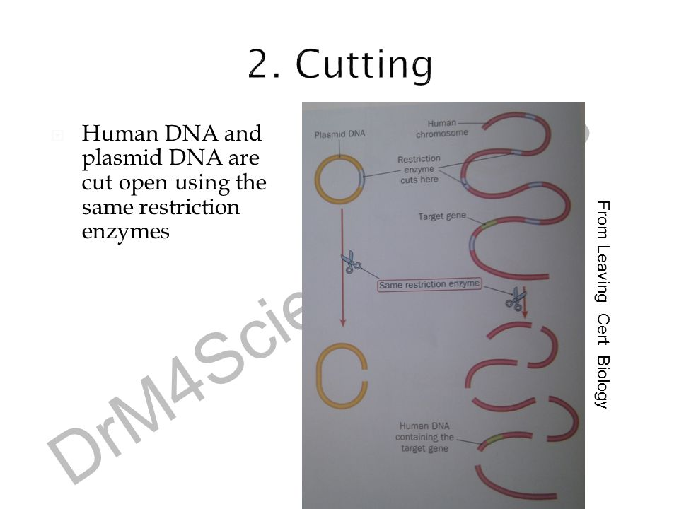 DrM4ScienceGrinds  Human DNA and plasmid DNA are cut open using the same restriction enzymes From Leaving Cert Biology
