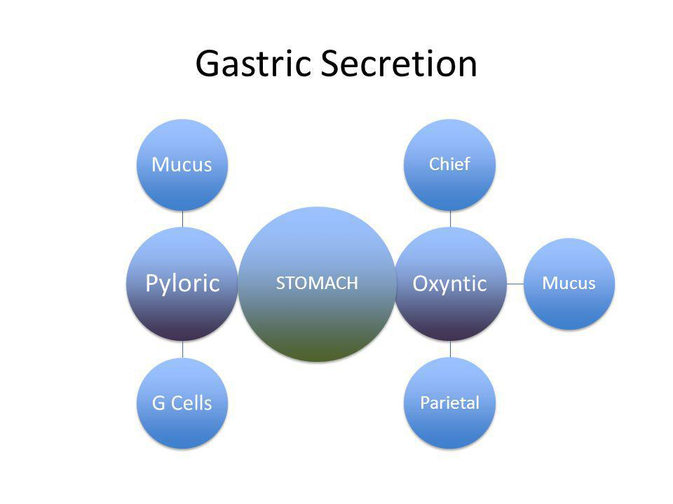 Gastric Secretion Pyloric MucusG Cells Oxyntic ChiefMucusParietal STOMACH