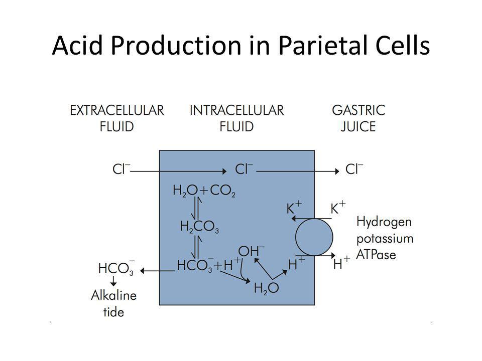 Acid Production in Parietal Cells