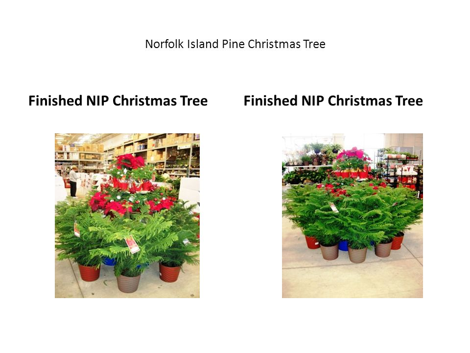 Norfolk Island Pine Christmas Tree Finished NIP Christmas Tree