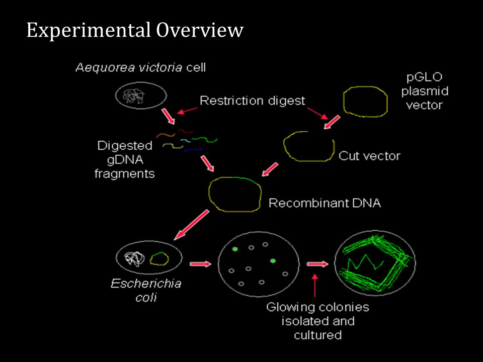 Gene for green fluorescent protein (from the jellyfish) Gene for beta-lactamase (confers antibiotic resistance) The transformation was carried out using a pGLO plasmid which had been modified to contain two new genes..