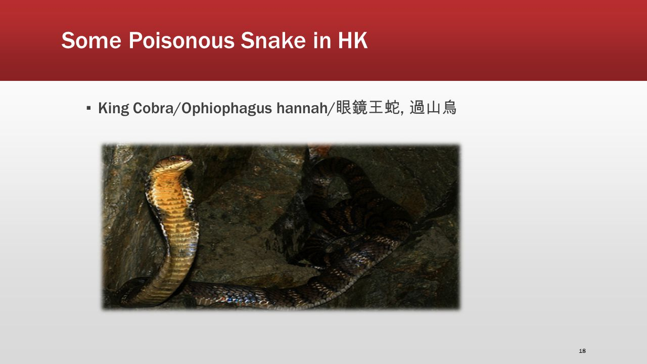 Some Poisonous Snake in HK ▪ King Cobra/Ophiophagus hannah/ 眼鏡王蛇, 過山烏 18