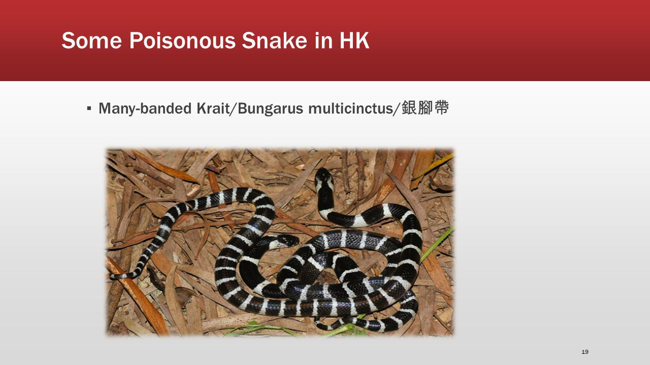 Some Poisonous Snake in HK ▪ Many-banded Krait/Bungarus multicinctus/ 銀腳帶 19