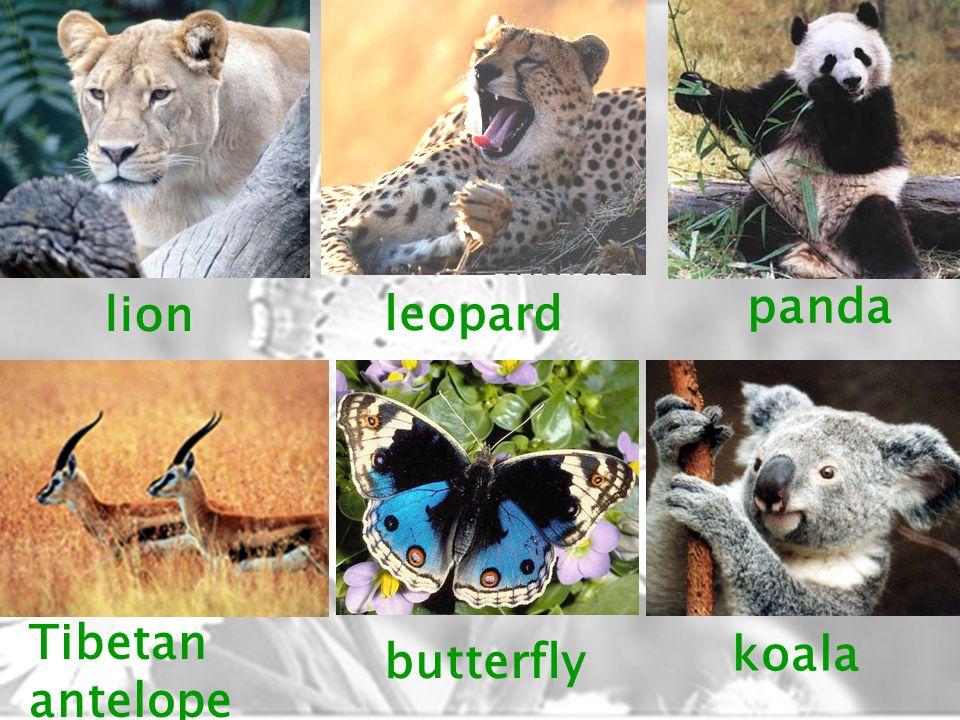lion leopard panda Tibetan antelope butterfly koala