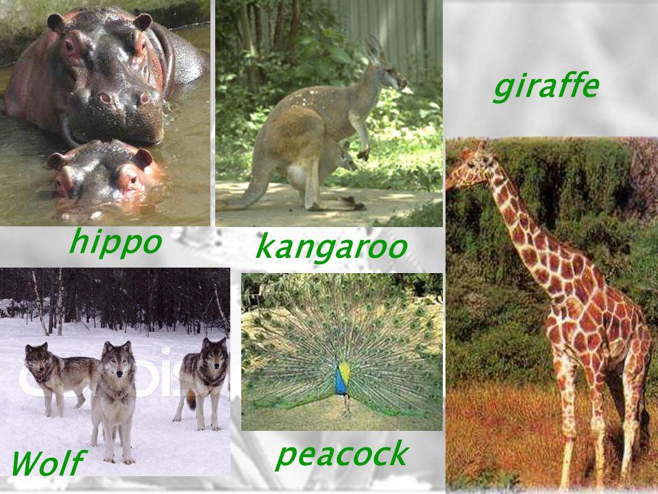 hippo kangaroo giraffe Wolf peacock