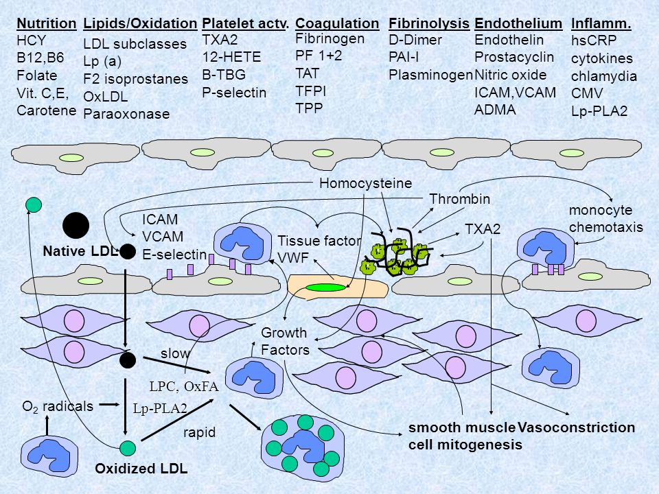 monocyte chemotaxis Oxidized LDL Native LDL slow rapid ICAM VCAM E-selectin O 2 radicals Growth Factors Thrombin smooth muscle cell mitogenesis Homocy