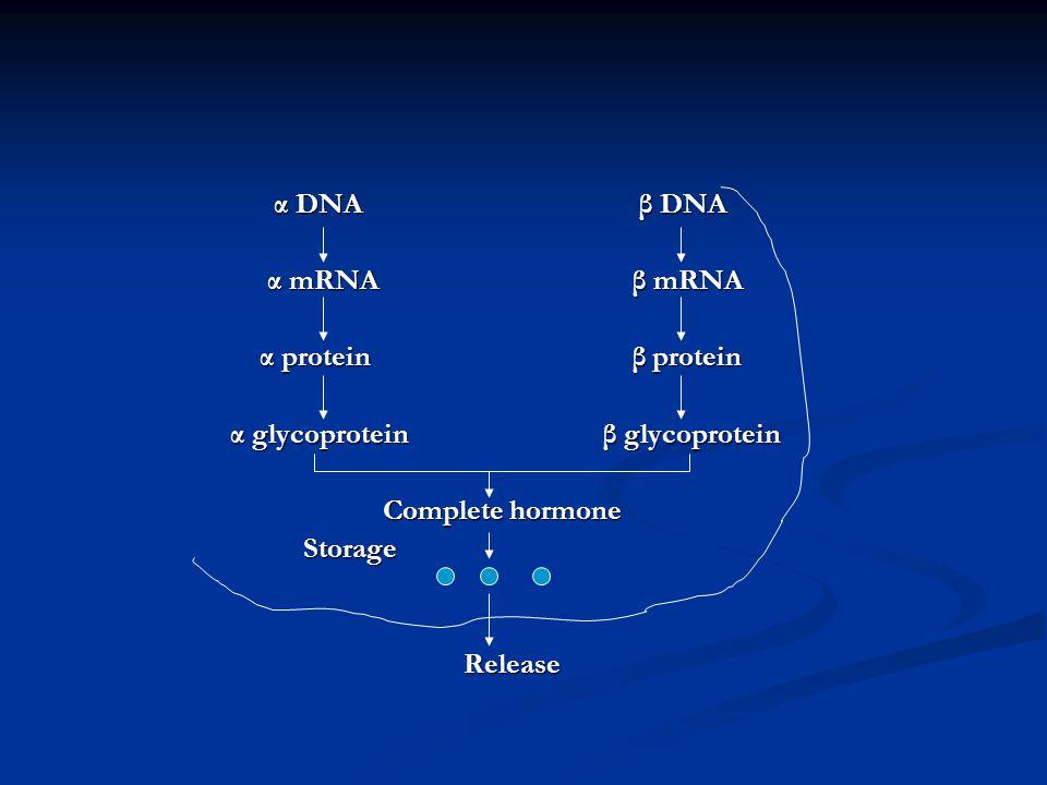 α DNA β DNA α DNA β DNA α mRNA β mRNA α mRNA β mRNA α protein β protein α protein β protein α glycoprotein β glycoprotein α glycoprotein β glycoprotei